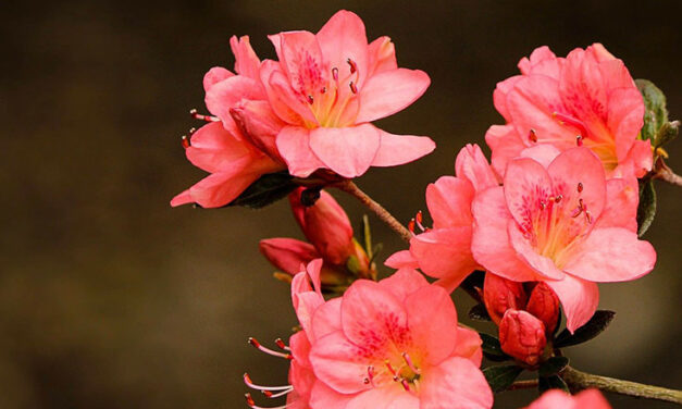 Flowering Azaleas: Beautiful Indoors and Out