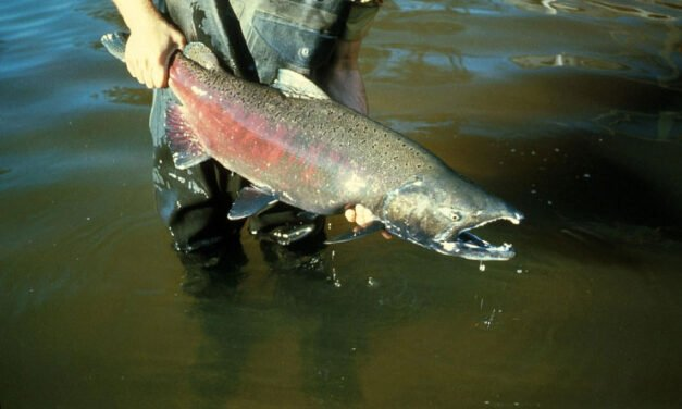 The ecological web: A story of salmon caught in the middle