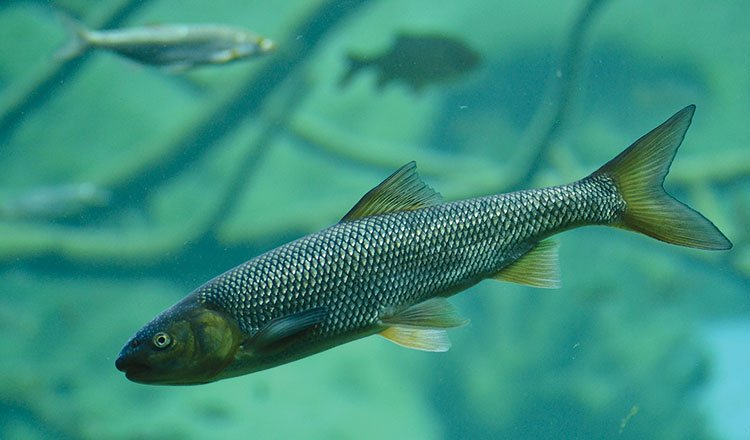 Fish actually have ears