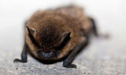 The amazing creatures – Little Brown Bat