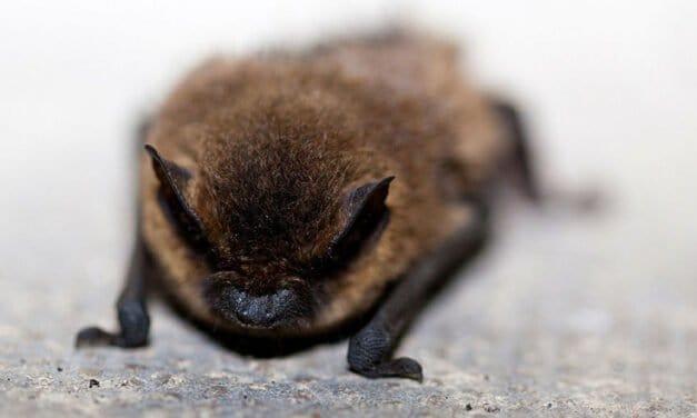 The amazing creatures – Little Brown Bat