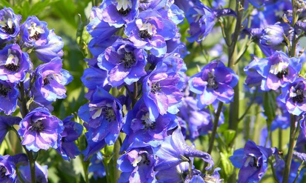 Five perennials for the northern flower garden