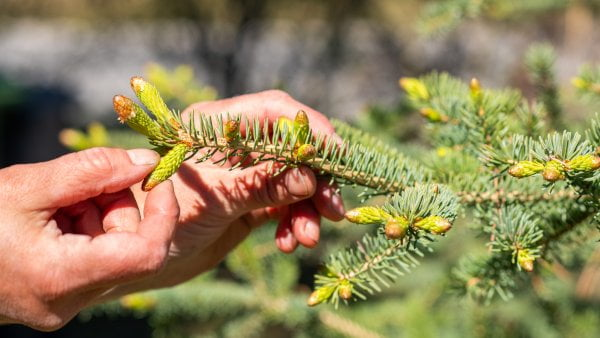 It's Spruce Tip Season!