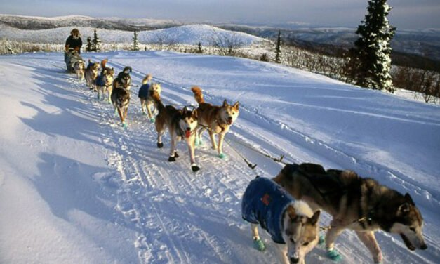 Here come the mushers