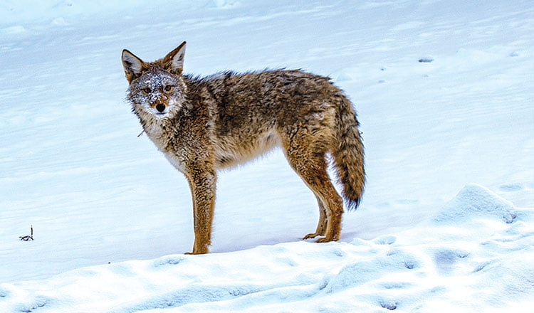 Living With Wildlife – Steve Wilson Coyote on Fish Lake Road