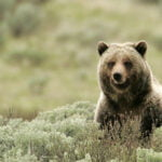 """Avoiding a """"grizzly"""" situation"""