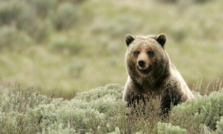 "Avoiding a ""grizzly"" situation"