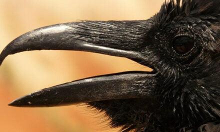 A ravenous raven is a resourceful raven