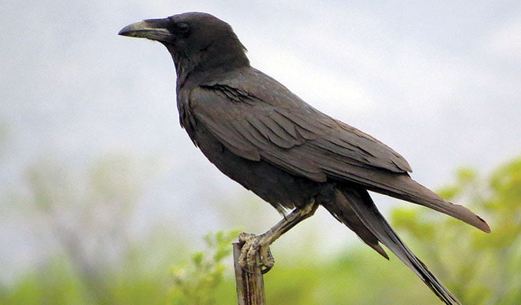 Interview with the raven