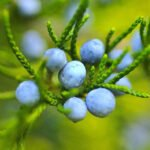 Blueberry Pilgrims