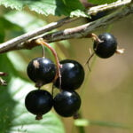 Currant-ly Available
