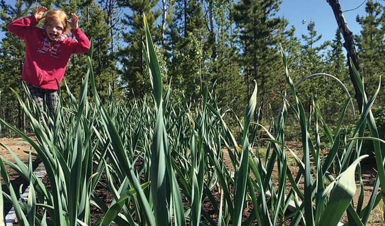 Garlic in the Yukon:  It's a Thing!