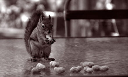 Nuts to the red squirrels