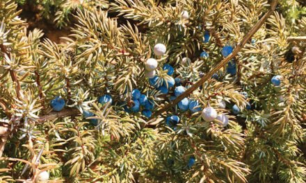 Juniper—Not Just for Gin