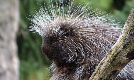 Living the life of a porcupine