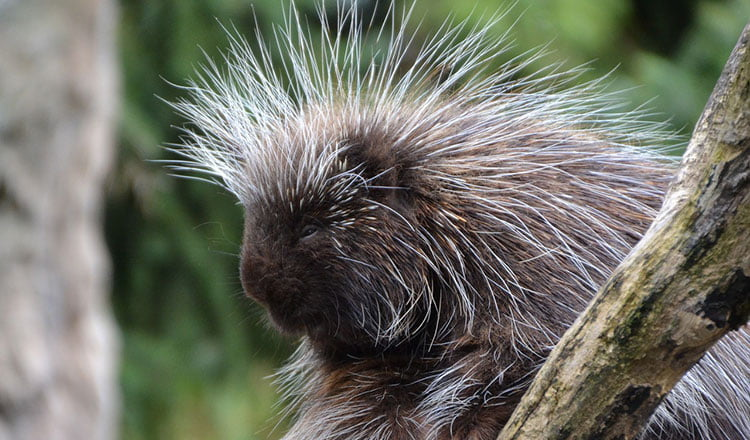 Living the life of a porcupine