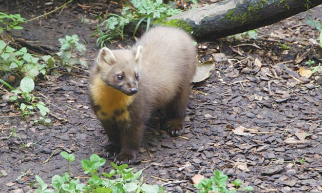 The pine marten aka the sheriff of squirrel country