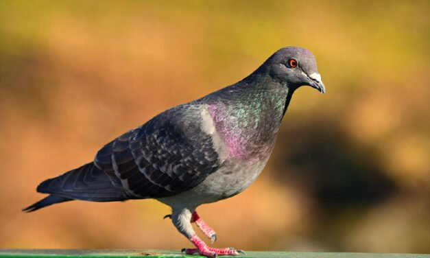 What we can learn from the passing of the passenger pigeon
