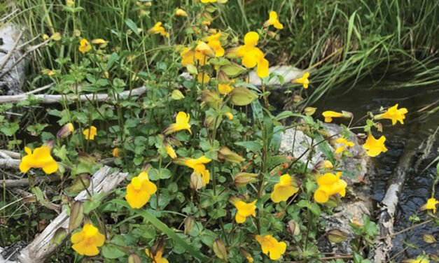 Meet the seep monkeyflower