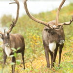 The Gwich'in's journey to protect the Arctic Refuge