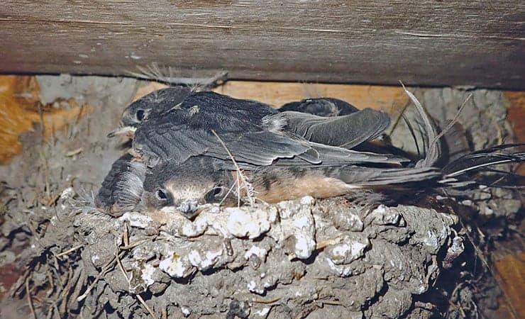 Yukon Swallow and Bats on Farmlands