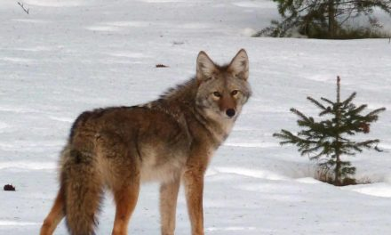 Yukon coyotes: The dos and don'ts